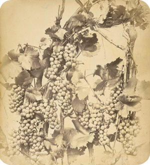 Lot 4011, Auction  113, Braun, Adolphe, Vine with grapes