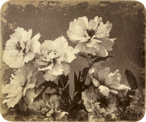 Lot 4012, Auction  113, Braun, Adolphe, Peonies