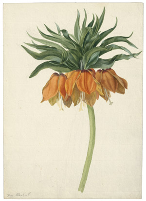 Lot 6257, Auction  114, Blaschek, Franz, Kaiserkrone (Fritillaria imperialis)