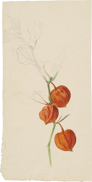 Lot 6276, Auction  114, Blaschek, Franz, Lampionblume